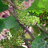 Early grapes at Schug Winery
