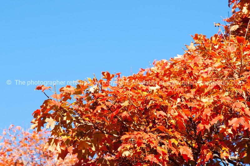 Autumn colors leaves of liquid amber tree against blue sky