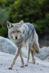 Coyote look