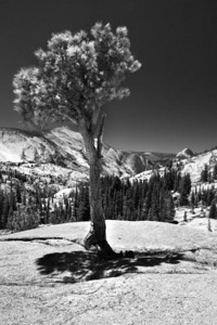 Half dome and the tree
