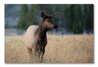 And baby elk (what is the right word?).