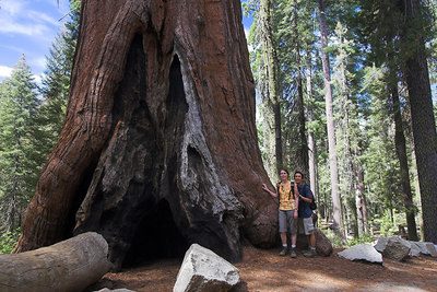A giant sequoia in Tuolumne Grove, Yosemite September 2006.