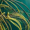 Nereocystis (bull kelp)