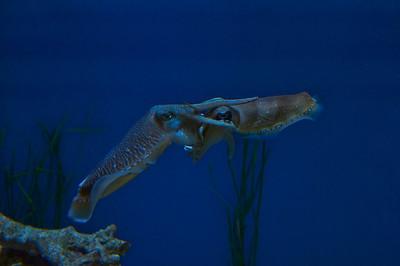 Monterey Aquarium cthulhu?