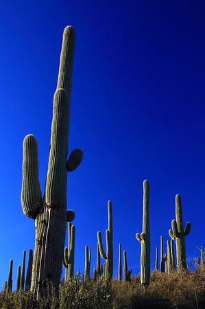 USA - Saguaro Cactus, Saguaro National Monument, Arizona - IMG_0803sm