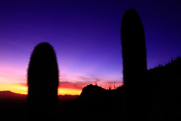 USA - Saguaro cactus at twilight, Arizona IMG_0966sm