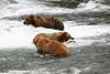 Grizzly Bears at Brooke Falls , Katmai NP, Alaska, USA