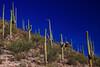 USA - Saguaro cactuses near Tucson, Arizona -IMG_1159sm