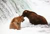USA-Alaska  Grizzly Bears at Brooke Falls at Katmai Peninsula