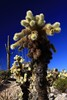 USA- Arizona -Jumping Cholla Cactus in the Sonoran desert - IMG_1204