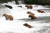 USA-Alaska  Grizzly bears at Brooke Falls, Katmai NP