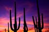 USA - Saguaro Cactus sunset, Arizona - IMG_1327sm