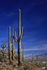 USA - Saguaro Cactus near Tucson - IMG_1165
