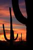 USA - Saguaro cactus, Arizona - IMG_1315mdsm