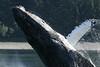 USA - Humpback whale breaching, Gustavson, Alaska, Aug 2003