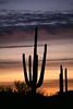 USA-Arizona Saguaro cactus