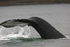 Humpback whale tail near Juneaus, Alaska