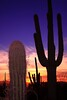 USA - Cactuses at Sonora Desert, Arizona - IMG_1258sm