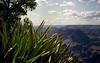 USA - AZ - Grand Canyon - yucca