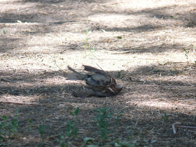 1st thought these birds were hurt rolling on the ground but they were just doing the nasty :-)