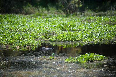 в озере живут аллигаторы