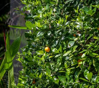 мандарины возле бассейна