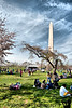 Washington Monument among the Cherry Blossoms, Washington, District of Columbia