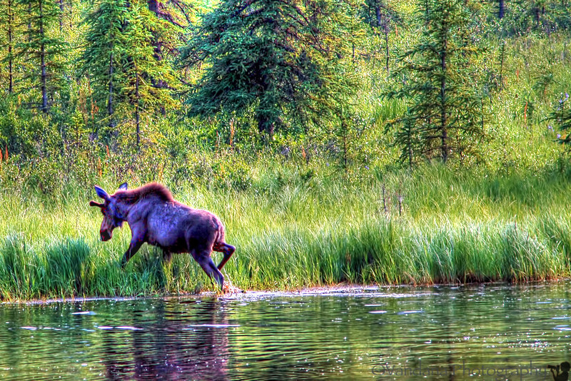 My first Moose, Denali- spotted on the way from train station to Hostel