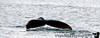 Humpback whale - from a cruise in Seward