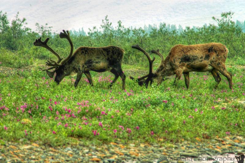 Caribou grazing in Denali