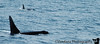 Orcas or Killer whales