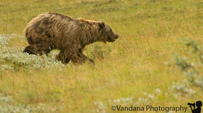 Grizzly rushes into the foliage