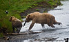 Sometimes bears fight over salmon. Here a mom & her kid run away from the other bears after grabbing a quick one.