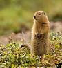 the arctic ground squirrel