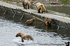 At one point, the bridge boasted half a dozen bears.  If you stay put at Fraser long enough, you can witness all of the bear families that live down there. Everybody comes to Fraser to feast on salmon.