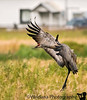 Sandhill crane lands