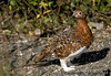 The Ptarmigan - Alaska 's state bird<br /> <br /> you can see it changing colors here ! it's that brown color during the summer then changes to snow white during the winter.. here the feet are starting to turn white