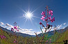 On Richardson Highway - starbursts and fireweed - close to Sheep Mountain lodge where we stayed during our last trip
