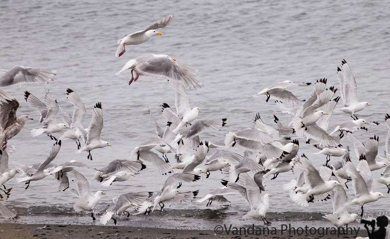 Large groups of seagull along the Kodiak coastline.