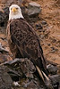 """No sooner had Susan started off into Unalaska that we asked her to stop! We had spotted our first Bald Eagle. Susan laughed out, surprised. She said """"You want eagles ? There are thousands of them!""""<br /> <br /> We thought she meant metaphorically, of course. We were in for a total shock. Unalaska has 100s of thousands of bald eagles. Bald eagles are everywhere..."""