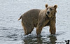 One of the first bears we spotted in the water.<br /> This pic was taken on a giant 400mm telephoto, but we've found that a 100-300 is quite adequate. The bears move around quite vigorously in the water, and a 400mm can be hard to maneuver.