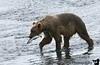 Kodiak Bears  are generally larger than the grizzlies in Denali because their diet consists of high-protein salmon. Here our bear, after thrashing around the water, very quickly gets his first salmon. <br /> <br /> It helps that Lake Fraser is where the salmon are counted, you can spot salmon all over the place.