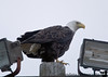 By now, our eyes are expertly trained to spot bald eagles, and we find one almost immediately, on a lamppost looking down at us.