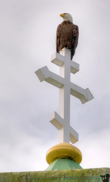 As anticipated, there was a bald eagle on the church spire hogging the limelight.
