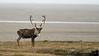 Bull caribou takes a leak along the Dalton highway