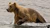 A bear paws the water vigorously to grab salmon.