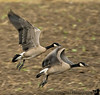 and the geese take off