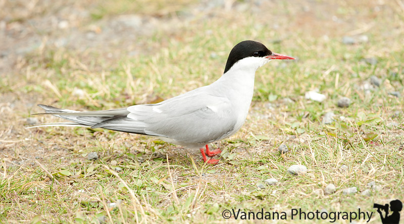 July 6, 2010 - Stopped at Potter's Marsh near Anchorage<br /> <br /> A large tern colony lives here, mating, feeding, and creating a racket