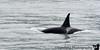 Orcas !