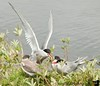 The adult tern hovers over the water & finds fish, which are promptly fed to the young, waiting in the nests.